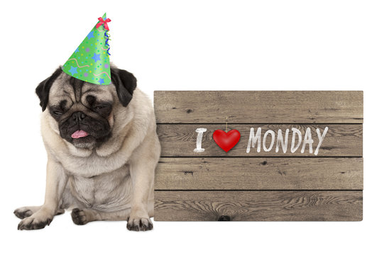 fed up pug puppy dog wearing party hat, sitting down next to wooden sign with text I love monday, isolated on white background