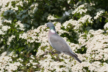 wood pigeon and tree blossom
