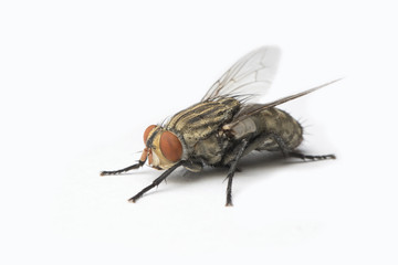 The Housefly on White background in Thailand and Southeast Asia.