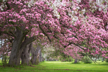 Pink and white flowering trees