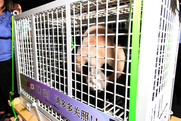 You Bang, one of three giant pandas that were born and raised in Japan, is pictured as they arrive in Chengdu