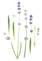 Set of lavender flowers elements. Botanical illustration. Collection of lavender flowers on a white background.