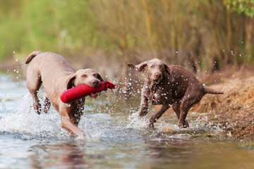 Weimaraner adult and puppy run in a lake