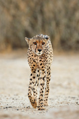 An alert cheetah (Acinonyx jubatus) walking, Kalahari desert, South Africa.