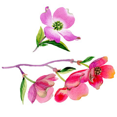 Wildflower Cornus Florida flower in a watercolor style isolated.