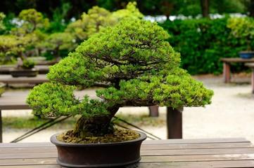 盆栽./五葉松です