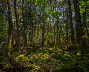 Aokigahara Forest. Mysterious forest in the Japanese Mount Fuji region. Mossy floor and moody light. It is known as suicide forest. Many people disappear here, most of them are commiting suicide.