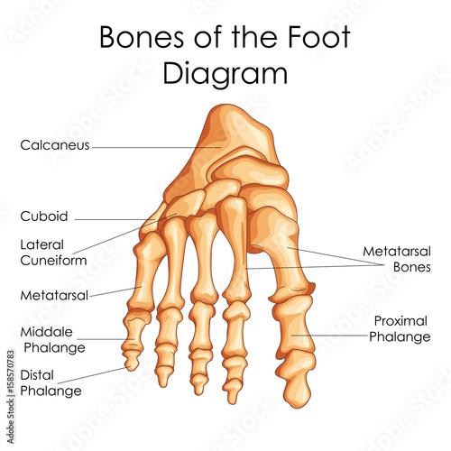 500_F_158570783_z1qEBsFSYha2sZx9vcb7KHr83596Y4SN medical education chart of biology for bones of foot diagram\
