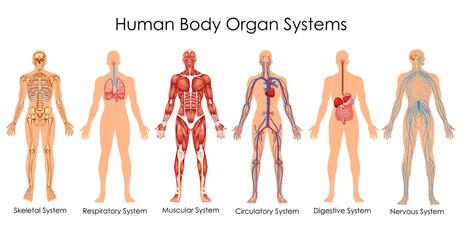 Medical Education Chart of Biology for Human Body Organ System Diagram