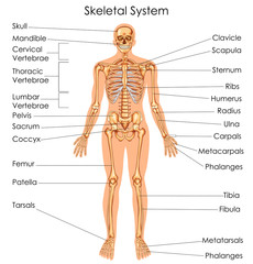 Medical Education Chart of Biology for Skeletal System Diagram