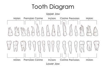 Medical Education Chart of Biology for Human Teeth Diagram