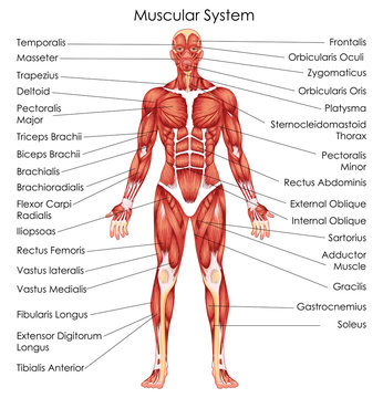 Medical Education Chart of Biology for Muscular System Diagram