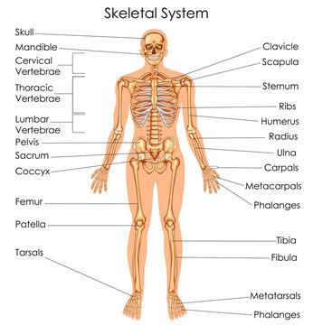 Medical Education Chart of Biology for Skeletal System Diagram