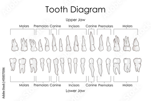 Medical Education Chart Of Biology For Human Teeth Diagram Stock