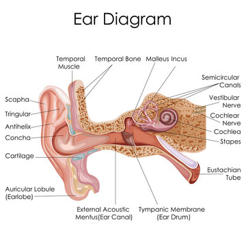 Medical Education Chart of Biology for Human Ear Diagram