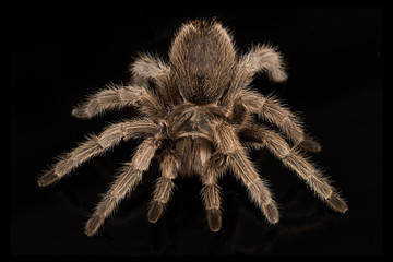 A very close photograph of a Chilean Rose Tarantula set against a black background