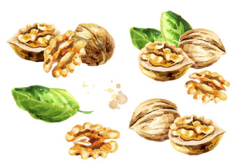 Walnut compositions set. Hand-drawn watercolor illustration