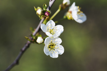 Flowering cherry branch in May