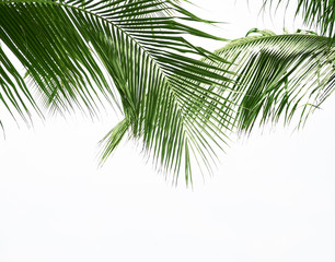 Coconut palm leaf isolated on white background