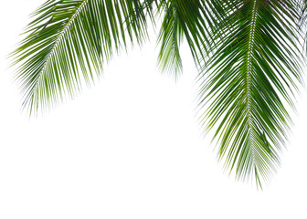 Acrylic Prints Palm tree Coconut palm leaf isolated on white background