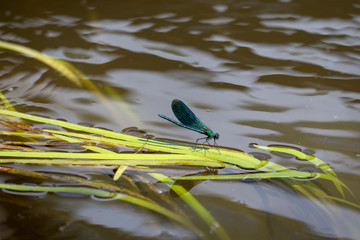 Dragonfly on the river