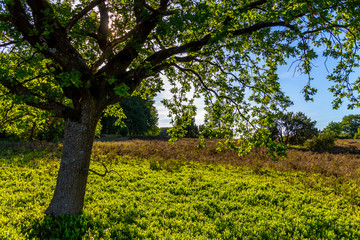 Tree on a green juicy meadow in the natural reserve 'Lüneburger Heide'