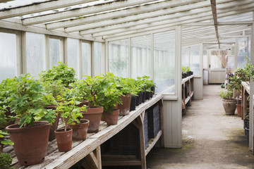 Interior view of the greenhouse with plants in terracotta pots, in a plant house.