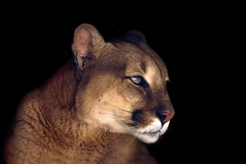 Beautiful puma  portrait isolated on black background