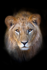 Beautiful lion portrait isolated on black background