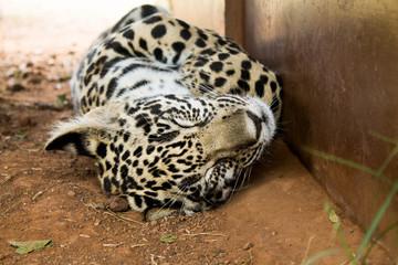 Leoparden Baby schlafend im Nationalpark Südafrikas