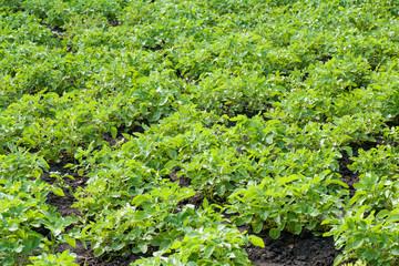 Potato shrubs in the garden