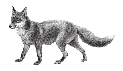 Fox (Vulpes vulpes) / vintage illustration