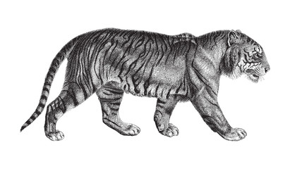 Tiger (Panthera tigris) / vintage illustration