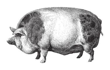 Hampshire pig / vintage illustration