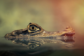 Poster de jardin Crocodile Crocodile face and the reflection in the water