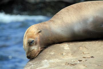 Close-up of a California Sea Lion (Zalophus Californianus), Resting on a Rock. La Holla, California, United States