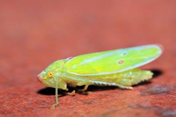 Close-up of a Cicada. Boquete, Panama.
