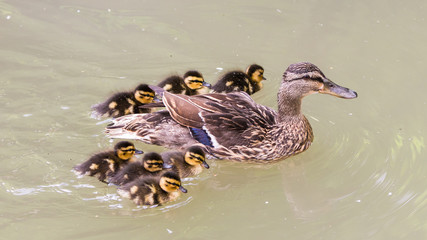 Mallard duck, ducklings, mother and babies in the lake
