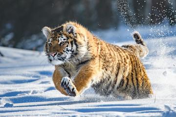 Photo sur Plexiglas Tigre Siberian Tiger in the snow (Panthera tigris altaica)