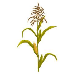 Corn maize vector illustration. Realistic hand drawn botanical isolated illustration.