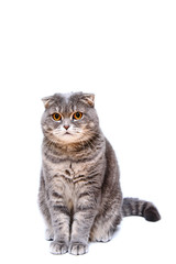 Gray lop-eared cat on white background isolated.
