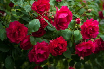 Red roses on a bush in a garden. Close-up of garden rose.