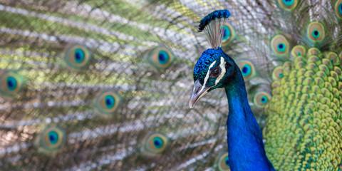 Beautiful peacock close portrait, vibrant colors