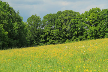 Wall Mural - meadow with yellow flowers and green trees behind it in spring