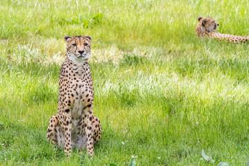 an Asiatic Cheetah