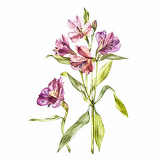 Illustration in watercolor of a Alstroemeria flower blossom. Floral card with flowers. Botanical illustration.