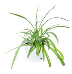 Chlorophytum in flowerpot