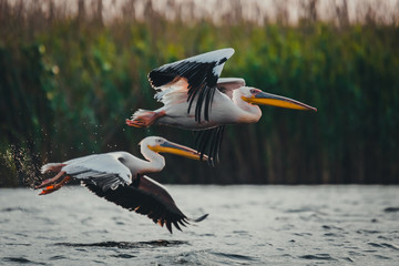 Pelicans flying in the same direction Wall mural