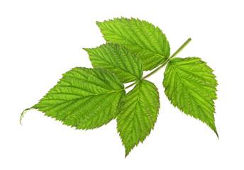 Raspberry fruit leaf closeup isolated on white background