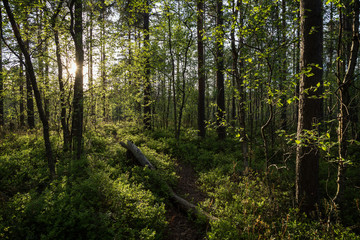 Path, tree trunk, trees and sunshine at a lush and verdant forest in Finland in the summertime in the evening.